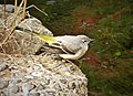 Grey Wagtail Motacilla cinerea (39682090233).jpg