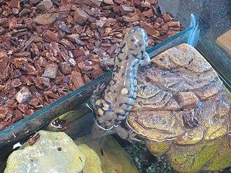 Barred tiger salamander - a.m. diaboli, salamander in residence at Living Prairie Museum, Winnipeg