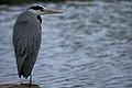 Grey heron Porto.jpg