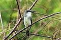 Grey kingbird (Tyrannus dominicensis vorax).jpg