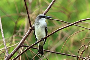 Gray kingbird - T. d. vorax, Tobago