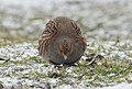 Grey partridge (33493292258).jpg