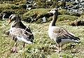 Greylag Geese (Anser anser) (geograph 2919191).jpg