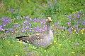Greylag goose Þingvellir Iceland.jpg