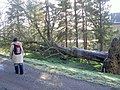Grounds of Yorkshire Sculpture Park showing a tree uprooted in the storms of January 2007 - geograph.org.uk - 362276.jpg