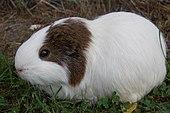 Guinea pig Lucas.JPG