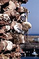 Gulls nesting on Dunbar Castle - geograph.org.uk - 1367481.jpg