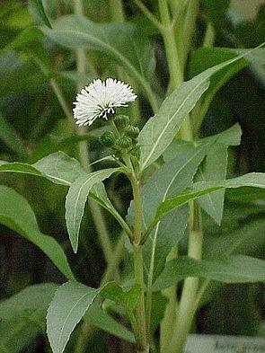 Gymnocoronis spilanthoides1.jpg