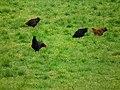Hühner freilaufend Otting Dezember 2011.JPG