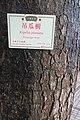 HK 香港大會堂紀念花園 City Hall Memorial Garden tree June 2017 IX3 tree trunk 吊瓜樹 Sausage 臘腸樹 Kigelia Pinnata.jpg