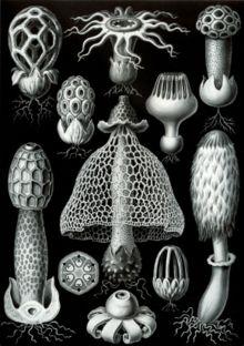 Basidiomycota - Wikipe...