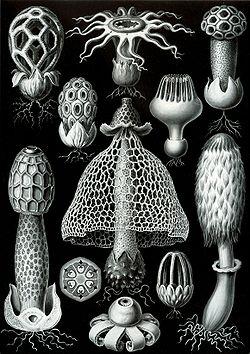 Basidiomycetes dari buku Ernst Haeckel berjudul Kunstformen der Natur (Artforms of Nature) pada tahun 1904