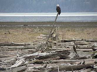 Driftwood - Driftwood provides a perch for a bald eagle on Fir Island (Washington).