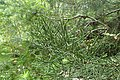 Halocarpus kirkii kz1.jpg
