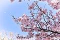 Hanami in Inogashira park (31939964867).jpg