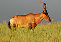 Hartebeest (side-on) Addo.JPG