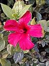 Hawaiian hibiscus.jpg