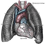 El corazón, entre los pulmones