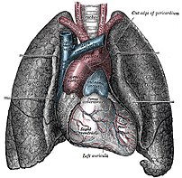 Human heart and lungs, from an older edition o...