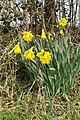 Hedgerow daffodils, Monarch's Way - geograph.org.uk - 141519.jpg