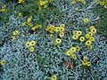 Helichrysum argyrophylllum.jpg