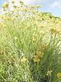 Helichrysum italicum (Roth) G. Don 0904 05.JPG