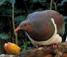 Hemiphaga novaeseelandiae -Nga Manu Nature Reserve, New Zealand-8