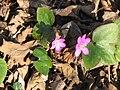 Hepatica nobilis pink1.jpg