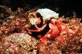 HermitCrab NOAA.jpg