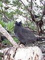 Heron Island, Australia - Black Noddy fledgling.JPG