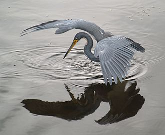 Heron - Tricoloured heron fishing, using wings to create shade