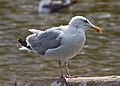 Herring Gull 1 (6045300223).jpg