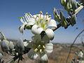 Hesperaloe (Agavaceae) Hesperaloe funifera fh 0640 MEX A.jpg