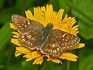 Safflower skipper Species of skipper butterfly genus Pyrgus