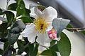 Hibiscus-Blüte.jpg