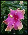 Hibiscus Pink and Cream-2and (4200563689).jpg