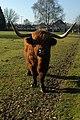 Highland cow, Botleigh Grange Hotel - geograph.org.uk - 1721535.jpg