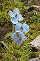 Himalayan Blue Poppy DSCN2111.jpg