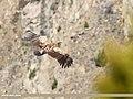 Himalayan Griffon (Gyps himalayensis) (31978719582).jpg