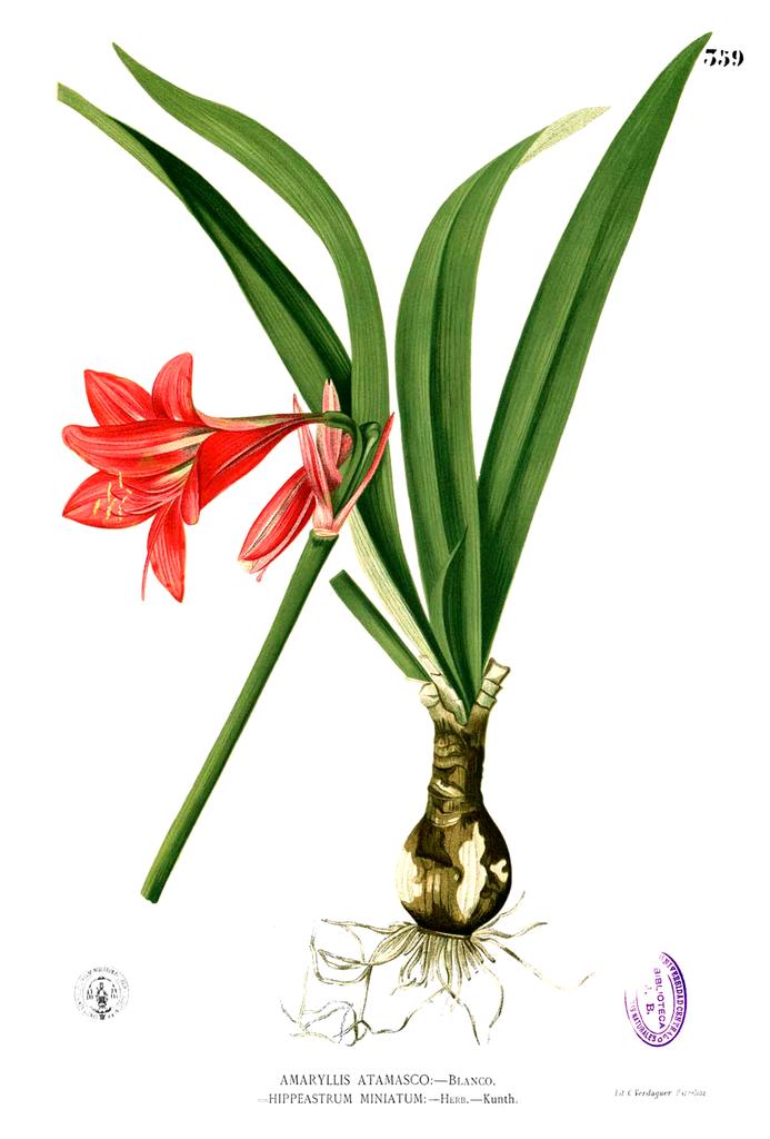 File hippeastrum miniatum wikimedia commons for Amaryllis culture