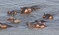 Hippopotamus study (sequence) at Kruger National Park (12156336714).jpg