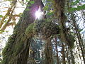 Hoh Rainforest - Olympic National Park - Washington State (9780224982).jpg