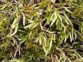 Homalothecium lutescens 113869320.jpg