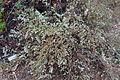 Homoranthus flavescens - UC Santa Cruz Arboretum - DSC07421.JPG