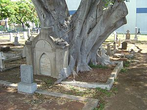 Honolulu Catholic Cemetery - Ficus growing on gravesite