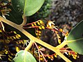 Hopea ponga flowers at Keezhpally (4).jpg