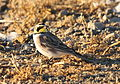 Horned Lark on Seedskadee NWR - 24421059033.jpg