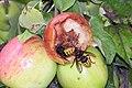 Hornissen beim Apfelschmaus - panoramio.jpg