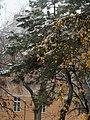 Hornuggla i träd.jpg