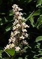 Horse chestnut flowers in Brodalen 2.jpg